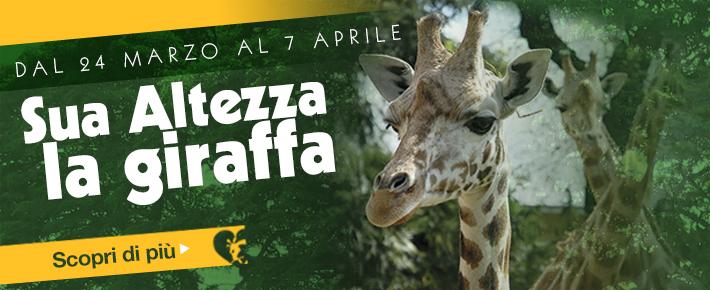 072522sua_altezza_giraffa