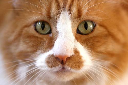 gatto-primo-piano