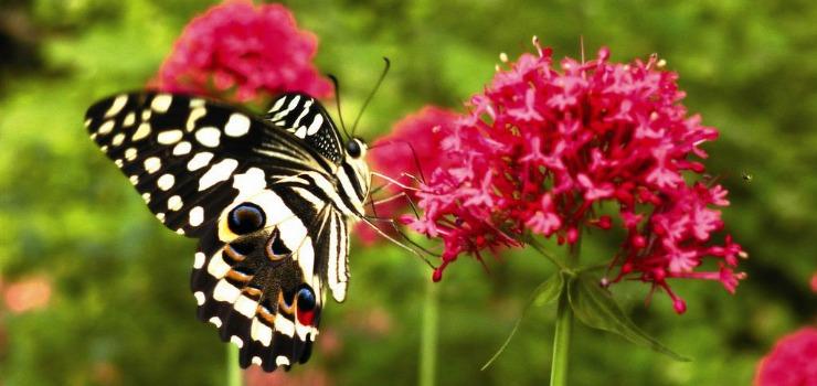 Papilionide-Papilio-demodocus-8